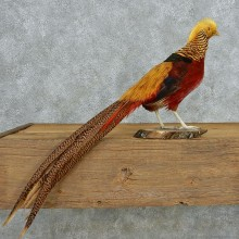 Standing Golden Pheasant