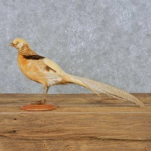 Standing Golden Pheasant Taxidermy Mount For Sale