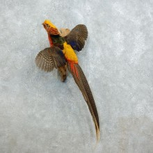 Golden Pheasant Mount For Sale #18517 @ The Taxidermy Store