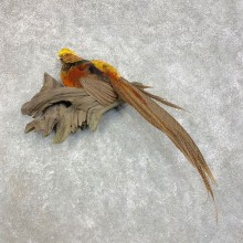 Golden Pheasant Mount For Sale #21723 @ The Taxidermy Store