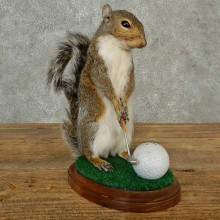 Golfing Grey Squirrel Novelty Taxidermy Mount For Sale