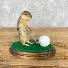 Golfing 13 Lined Ground Squirrel Novelty #21708 @Taxidermy Mount For Sale