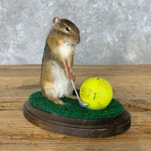 Golfing Squirrel Novelty Mount For Sale #22619 @ The Taxidermy Store