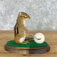 Golfing Squirrel Novelty Mount For Sale #22622 @ The Taxidermy Store