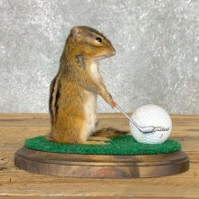 Golfing Squirrel Novelty Mount For Sale #22624 @ The Taxidermy Store