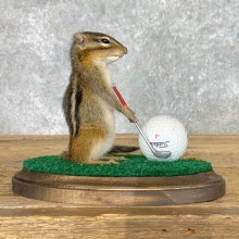 Golfing Squirrel Novelty Mount For Sale #22627 @ The Taxidermy Store