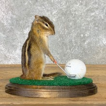 Golfing Squirrel Novelty Mount For Sale #22628 @ The Taxidermy Store