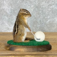 Golfing Squirrel Novelty Mount For Sale #22629 @ The Taxidermy Store