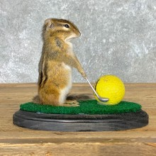 Golfing Squirrel Novelty Mount For Sale #22633 @ The Taxidermy Store