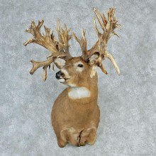 Whitetail Deer Shoulder (Reproduction of Goliath)