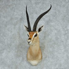 African Grants Gazelle Taxidermy Mount For Sale