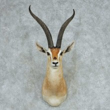Grant's Gazelle Shoulder Mount #13711 For Sale @ The Taxidermy Store