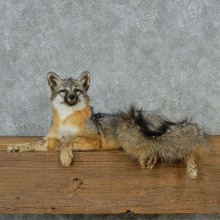Gray Fox Life Size Taxidermy Mount #13086 For Sale @ The Taxidermy Store