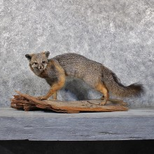 Grey Fox Taxidermy Mount #11712 For Sale @ The Taxidermy Store