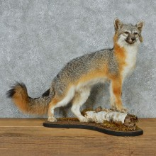 Gray Fox Life Size Taxidermy Mount #13085 For Sale @ The Taxidermy Store