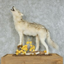 Howling Gray Wolf Life-Size Taxidermy Mount #13122 For Sale @ The Taxidermy Store