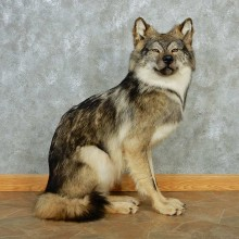 Gray Wolf Life Size Taxidermy Mount #13243 For Sale @ The Taxidermy Store