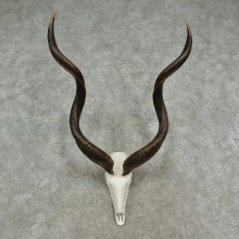 Kudu Skull & Horn European Mount For Sale #16960 @ The Taxidermy Store