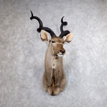 Greater Kudu Shoulder Mount For Sale #18617 @ The Taxidermy Store