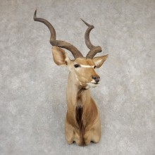 Greater Kudu Shoulder Mount For Sale #20514 @ The Taxidermy Store