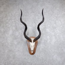 Greater Kudu Skull European Taxidermy Mount For Sale