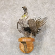 Greater Sage Grouse Bird Mount For Sale #22528 @ The Taxidermy Store