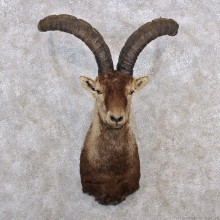 Gredos Ibex Shoulder Taxidermy Mount #11382 For Sale @ The Taxidermy Store