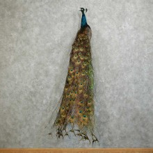 Indian Blue Peacock Taxidermy Bird Mount For Sale