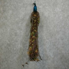 Indian Green Peacock Taxidermy Bird Mount For Sale