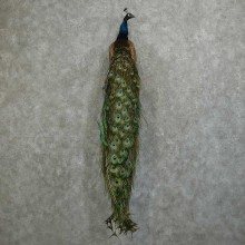 Indian Peacock Taxidermy Bird Mount For Sale
