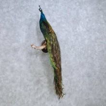 Green Indian Peacock Life-Size Taxidermy Mount For Sale