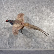 Ringneck Cross Pheasant Mount #11489 - The Taxidermy Store