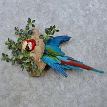 Green-Winged Macaw Head Mount For Sale #15000 @ The Taxidermy Store