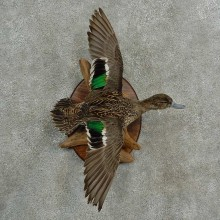 Green Winged Teal Duck Bird Mount For Sale #16998 @ The Taxidermy Store