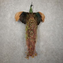 Green Indian Peacock Bird Mount For Sale #20410 @ The Taxidermy Store