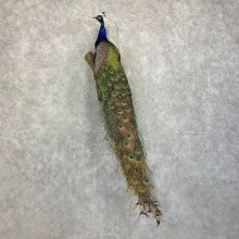 Green Indian Peacock Bird Mount For Sale #21417 @ The Taxidermy Store