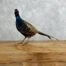 Green Pheasant Taxidermy Mount  #18272 For Sale @ The Taxidermy Store