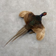 Green Pheasant Taxidermy Mount  #20806 For Sale @ The Taxidermy Store