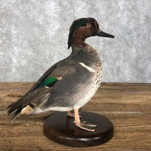 Green Winged Teal Duck Bird Mount For Sale #20361 @ The Taxidermy Store
