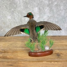 Green Winged Teal Duck Mount For Sale #21635 @ The Taxidermy Store