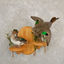 Green Winged Teal Duck Mount Scene For Sale #20694 @ The Taxidermy Store