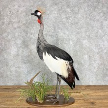 Grey-Crowned Crane Bird Mount For Sale #21687 - The Taxidermy Store