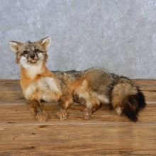 Gray Fox Life-Size Taxidermy Mount For Sale
