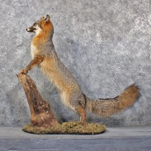 Standing Grey Fox Taxidermy Mount #11831 For Sale @ The Taxidermy Store