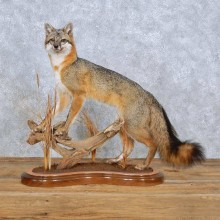 Laying Gray Fox Life-Size Taxidermy Mount For Sale