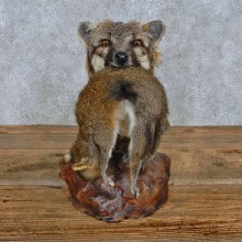 Gray Fox w/ Squirrel Shoulder Mount For Sale #15183 @ The Taxidermy Store