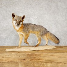 Grey Fox Life-Size Mount For Sale #18889 @ The Taxidermy Store