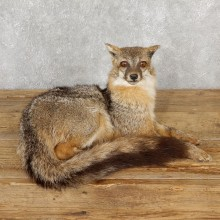 Grey Fox Life-Size Mount For Sale #19279 @ The Taxidermy Store