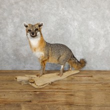 Grey Fox Life-Size Mount For Sale #19667 @ The Taxidermy Store