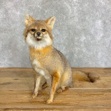 Grey Fox Life-Size Mount For Sale #22829 @ The Taxidermy Store